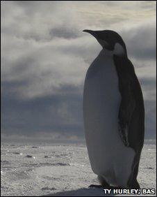 Female emperor penguin in Antarctica