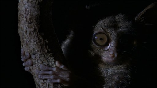 Spectral tarsier