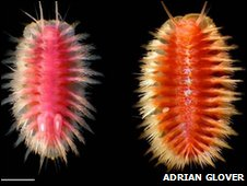 Snowboarding scaleworms (Polynoids)