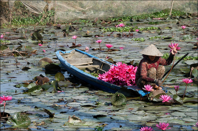 A woman gathers lotus flowers in An Giang Province, Vietnam