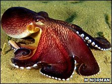 Veined octopus (Mark Norman)