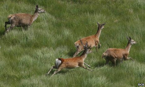 A sika deer stag runs with red deer hinds in Scotland