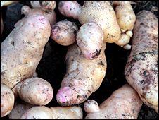 Knobbly potatoes from an allotment in south-east London