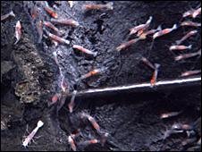 Shrimp (NSF/NOAA)