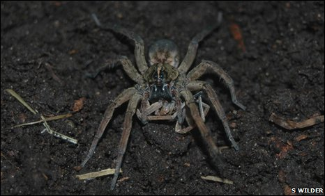 Female sexual cannibal spider eats male