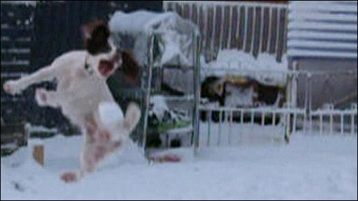 Lara the English Springer Spaniel jumping for a snowball