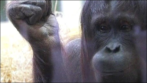 Nonja the orangutan