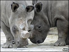 White Northern Rhinos at the Dvur Kralove Zoo. Photo: 16 December 2009