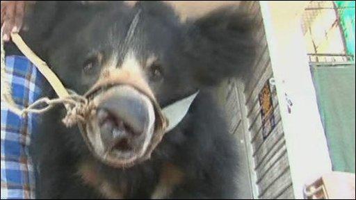 Raju, the last rescued dancing bear
