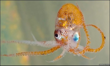 Unidentified octopus
