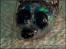 Barreleye (Winteria telescopa) caught at 700m
