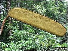 Berlinia korupensis pod (Image: RBG Kew)