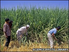 Men harvest sugar cane in Southern India