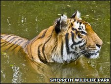 Amba the tiger swimming at Shepreth Wildlife Park
