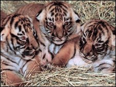 trio of endangered Indochinese tiger cubs,  San Diego Zoo (archive image)