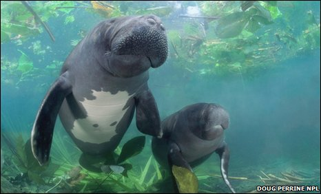 Amazonian manatee with young