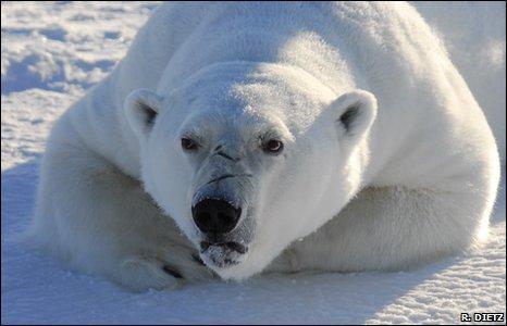 Polar bear (R.Dietz)