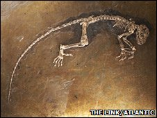 Primate fossil (The Link/Atlantic Productions)