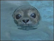 Rudolph the seal