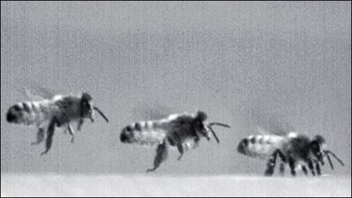 Sequence of honey bees landing (C. Evangelista/P. Kraft/M. Dacke/J. Reinhard/SBS Australia/Firefly Films Australia)