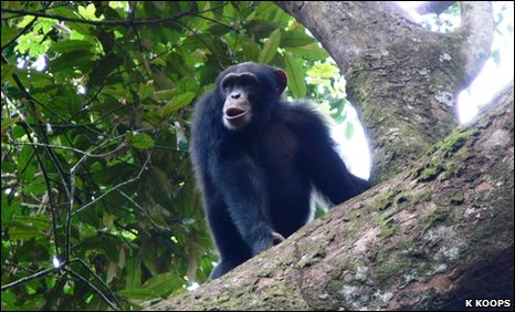 Poni, a chimp from the Nimba Mountains of Guinea, Africa who likes to chop his food