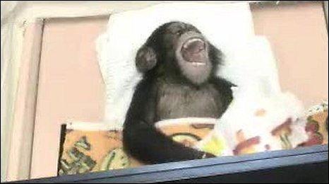 A chimpanzee called Sakura