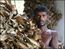 Dried cinnamon leaves being processed