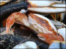 Columbus crab, by Steve Trewhella, Dorset Wildlife Trust