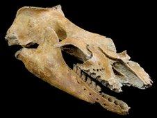 Oblique view of Mammalodon skull