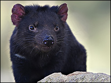 Tasmanian devil (Image: Anaspides Photography/Iain D Williams)