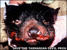 Tasmanian devil with DFTD (Image: Save the Tasmanian Devil Program)