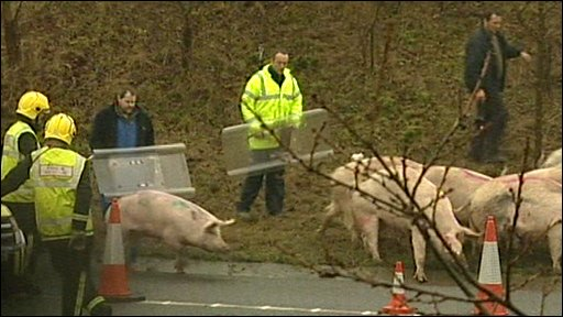 Pigs being rounded up on M11