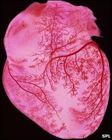 Human heart, SPL