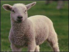 A lamb (generic)