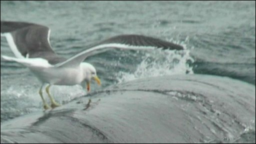 Seagull pecking whale's back