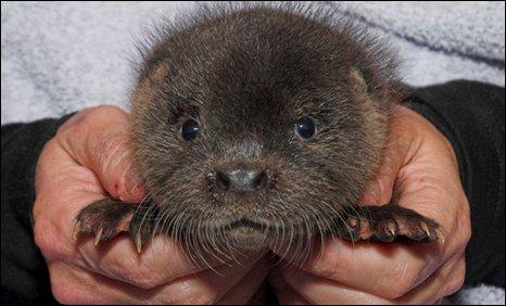 Resced otter Ron [Pic: Scottish SPCA]