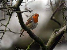 A robin sat in a tree