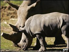 White rhinos in captivity in Australia, file image