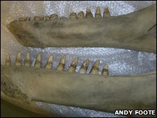 Killer whale jaws showing the difference in tooth wear