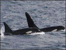 Killer whales off the coast of Scotland.