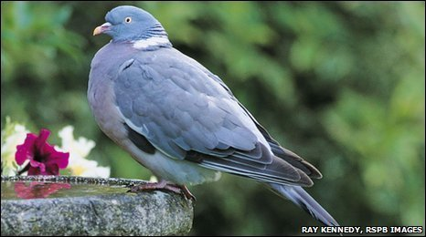 Wood Pigeons were London's most popular visitor to schools