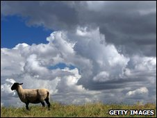 Sheep in field, Getty