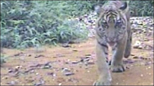 Sumatran tiger caught on camera