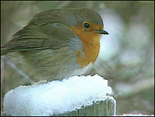 Robin (Photo: VT Freeze Frame)