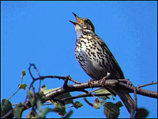 Song Thrush (Photo: RSPB)