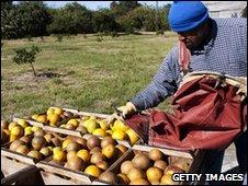 A citrus fruit picker in Merritt Island, Florida