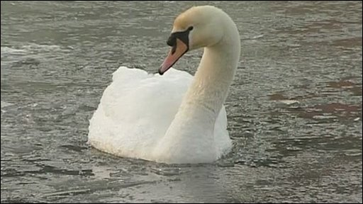 Swan trapped in ice in River Exe