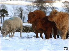 Livestock at feeding time in central Scotland's Carron Valley