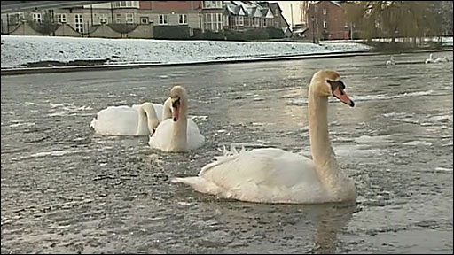 Swans on the frozen Exe