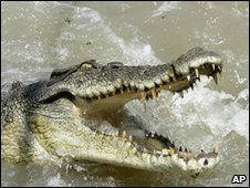 A saltwater crocodile